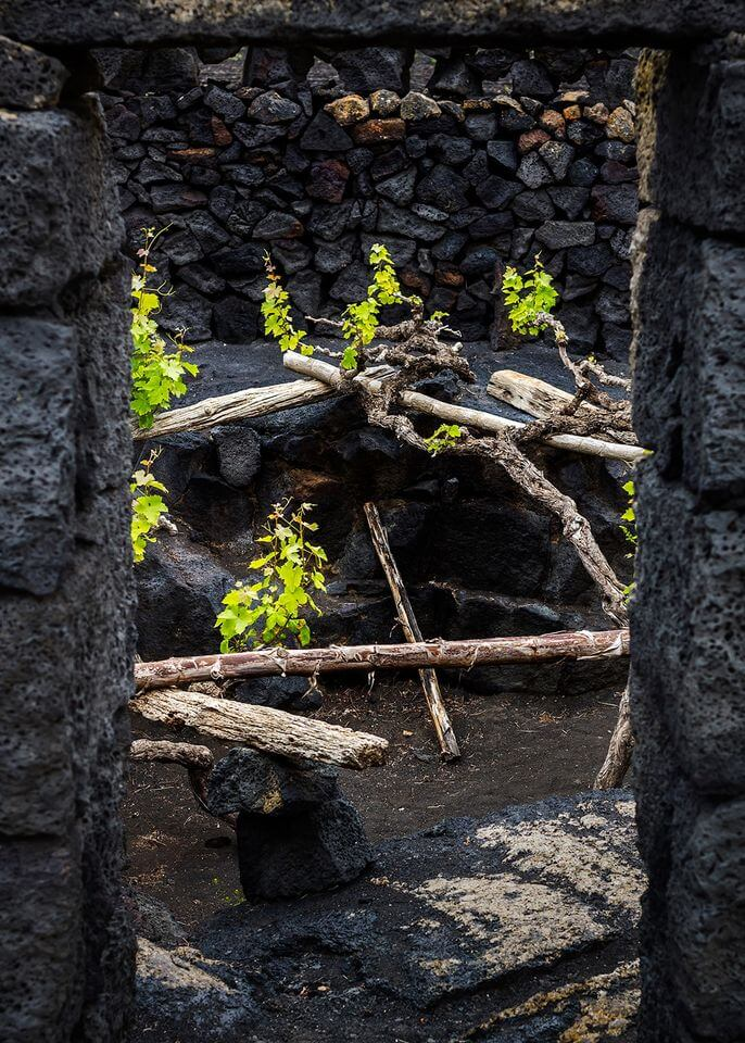malvasia volcanica malvoisie volcanique cepage